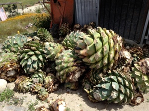 Agave hearts ready to become Martin Garcia's mezcal